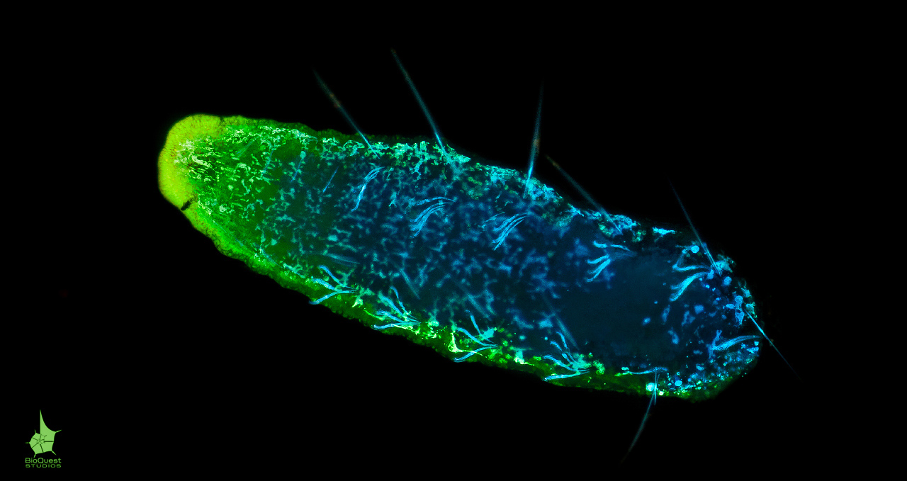A freshwater oligochaeta stained with fluorescent dyes under  UV light. The surface has a green glow and individual cells are visible upon closer inspection.