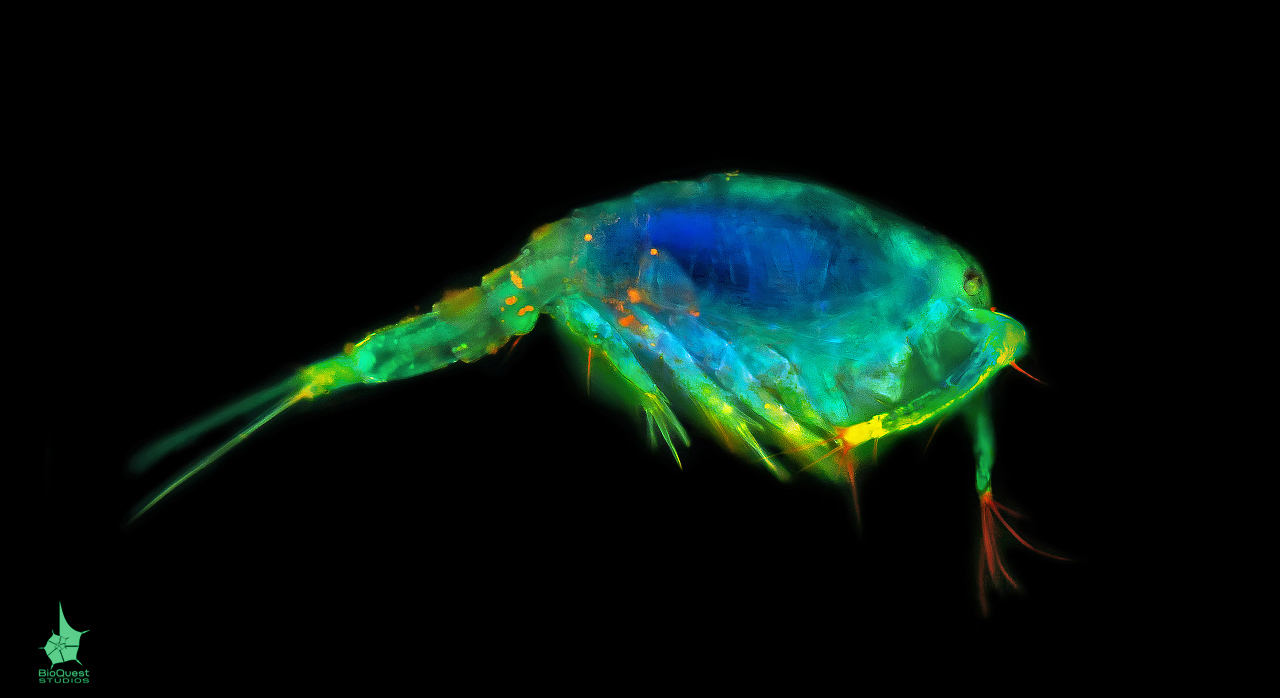 A freshwater copepod with fluorescent dyes under  UV light.