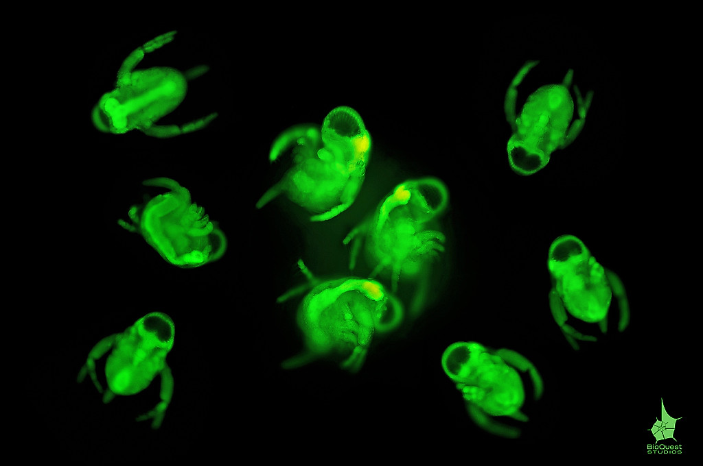Babies of <i>Polyphemus pediculus</i> (water flea) under UV light, though the animals look undeveloped, a lot of them swim around in water where adults live. The image is a composition of 3 pictures.
