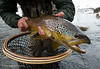 Brown Trout Winter Tailwater