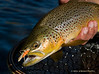 Brown Trout Grasshopper Hopper