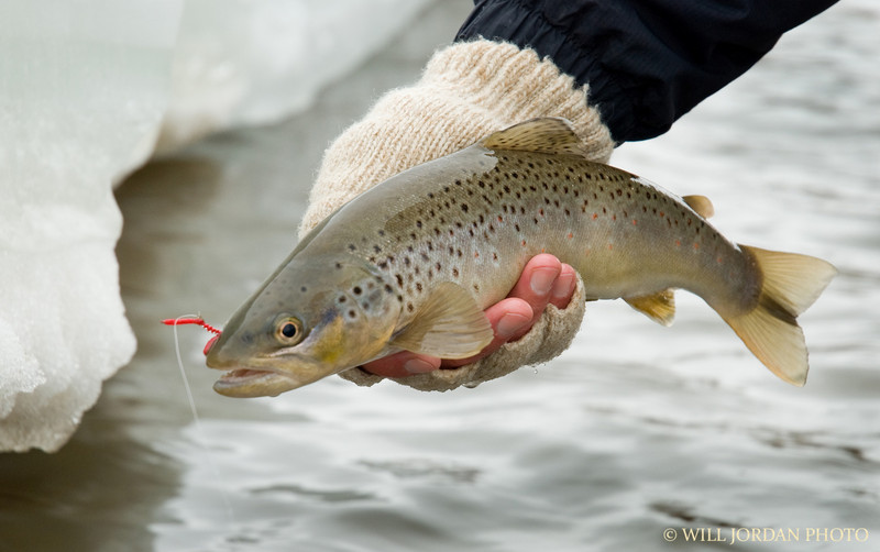 Brown Trout Winter San Juan Worm