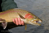 Rainbow Trout Tailwater Scud