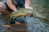 Fluvial bull trout Montana