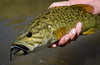 Smallmouth Bass Streamer