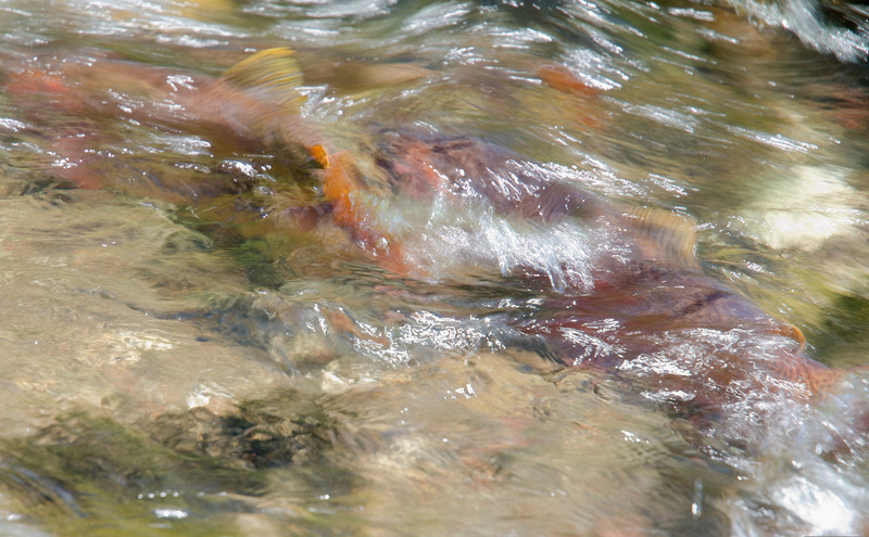 Yellowstone Cutthroat Trout Spawning Adipose Fin