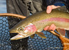 Rainbow Trout Winter