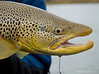 Brown Trout Fall Streamer
