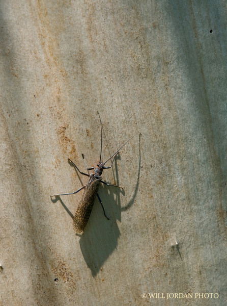 Adult salmonfly, Madison River.