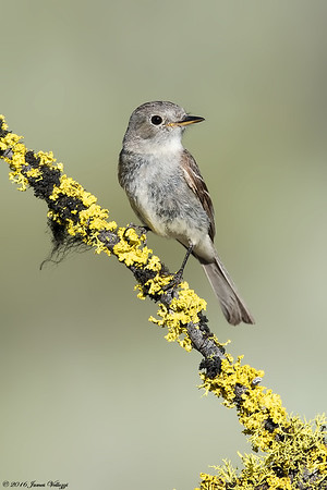 Pacific-slope Flycatcher, Empidonax difficilis