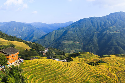 Golden rice terraces