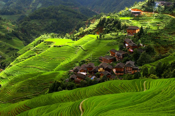 Rice terrace in summer
