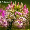 Cleome Flower