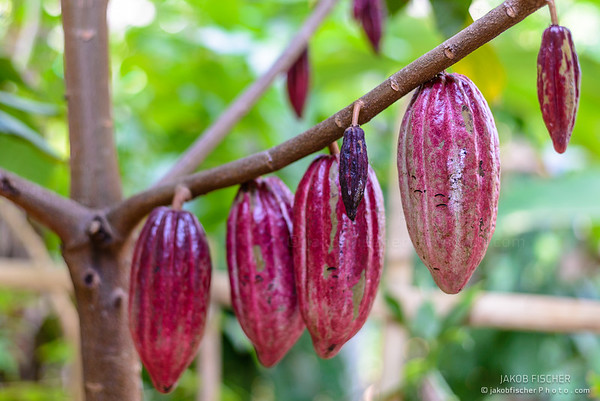 Cocoa fruit on a tree