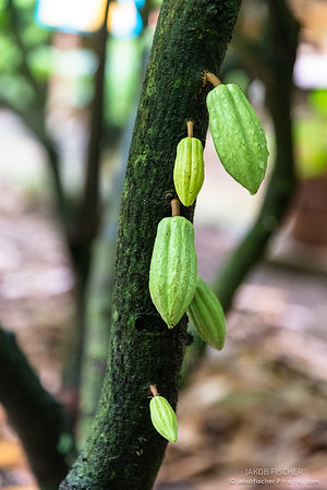 cacao tree with green cocoa beans in Guadeloupe