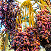 Dates in the Oasis of Garmeh