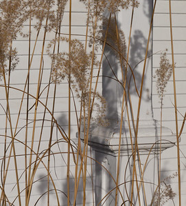 Chinese Silver Grass, Newfane, Vermont, 2012