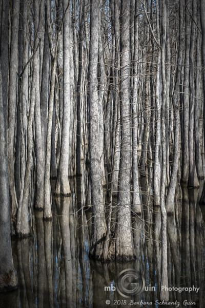 Tar Camp Trees