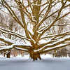 Gnarly Oak - Winter Version