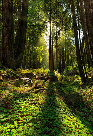 Light Rays in the Redwoods