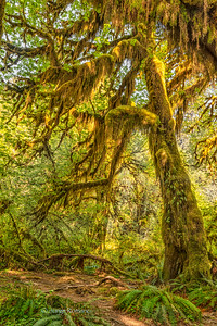 Hoh Rain Forest, Washington.