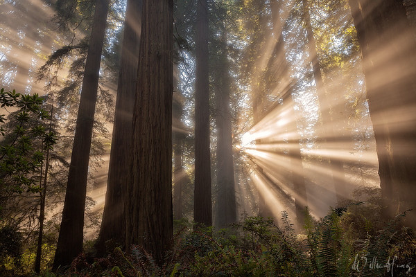 Redwood Enchantment