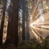 Redwood Enchantment