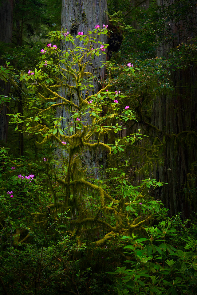 Mossy Rhododendron