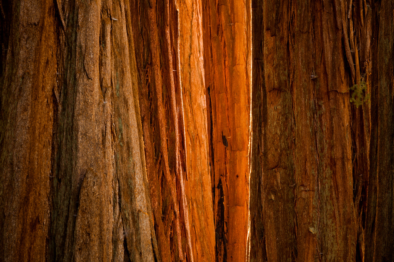 Sequoia Light
