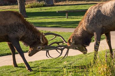 Elk IV: The Better Male