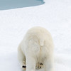 The End<br /> Polar Bear<br /> 30 miles North of Rudolf Island, Franz Josef Land<br /> GPS  82,13.6043N,  59,24.491157.9216E