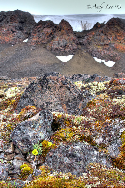 Wildflowers<br /> Jackson Island, Franz Josef Land<br /> GPS  81,12.2112N,  55,30.1679E