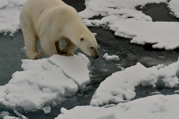 Landed! Female ploar bear, north of Rudolph Island