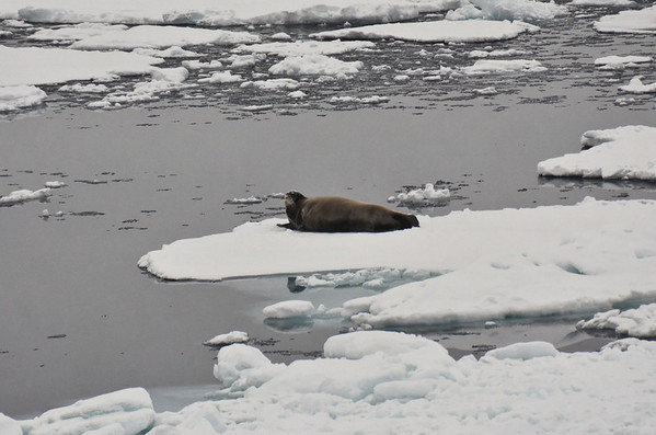 Seal on pack ice, north of Rudolph Island