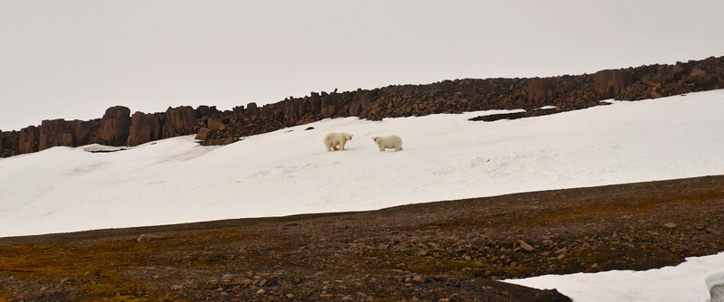 Marooned polar bears, E side of Cape Fligely, Rudolph Island