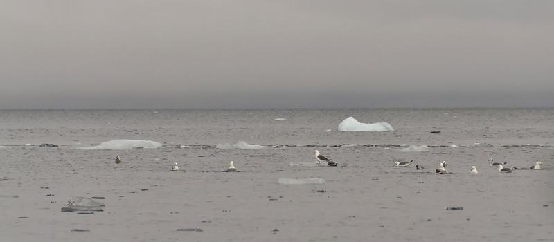 Sea gulls, floating, N of Cape Fligely, Rudolph Island