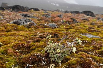 Arctic poppy; Jackson Island