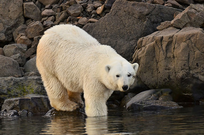 Polar bear on Coal Mine Island