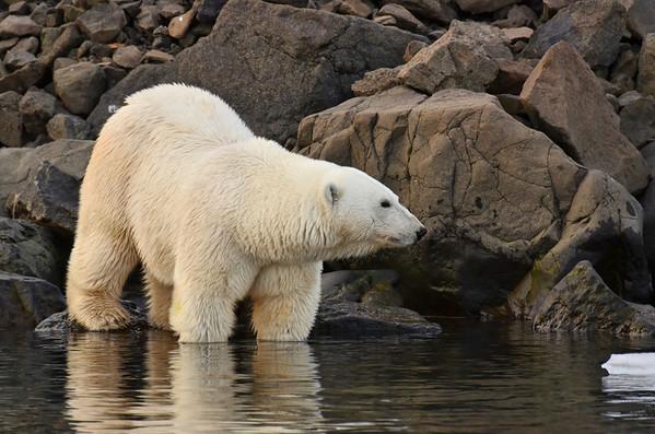 Female young polar bear, S cost of Coal Mine Island