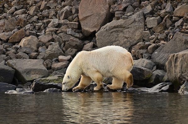 Female young polar bear with scratched eye lid, S cost of Coal Mine Island