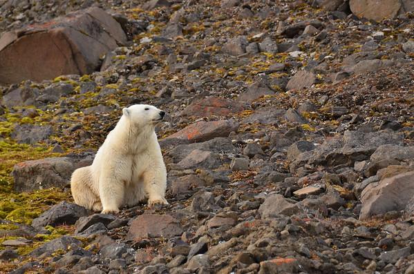 Polar bear on Coal Mine Island