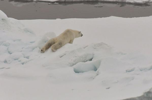 Lazy female Polar Bear sliding over an ice pressure ridge. Arctic Ocean north of Franz Josef Land.