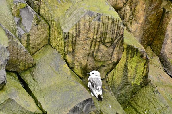 Young Guillemot at Rubini Rock basalt column patterns