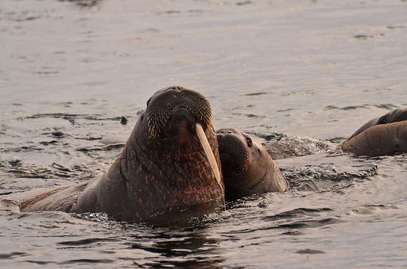 Walrus mother and cub, Appolonva Bay, Payer Island