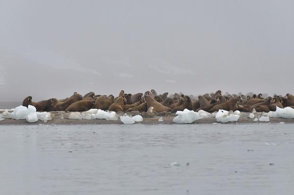 Walruss colony, Gunther Bay
