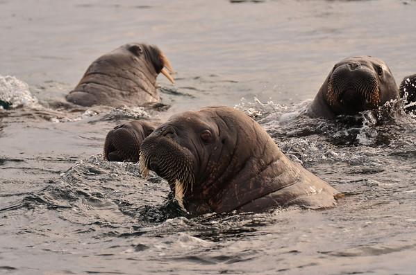 Walruss colony, Appolonva Bay, Payer Island