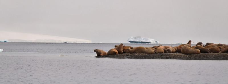 Walruss colony, Appolonva Bay, Becker Island in back