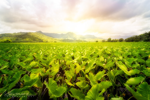 On the North shore of Kauai is one of the largest taro fields in the state that I'm aware of. The green plants stretch on for acres and acres and the backdrop of them in front of the mystical mountains of Kauai is extraordinary.  Find this spot just before the bridge if you're heading toward Hanalei, but beware of the rangers that patrol the area. They must have a problem with people getting into the fields or something, because they seem to swarm on to me every time I so much as pull to the side of the road over here.