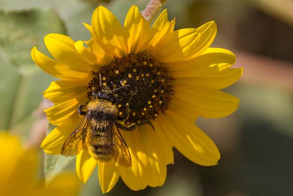 A Colorado Wild Flower with a Bonus Bee