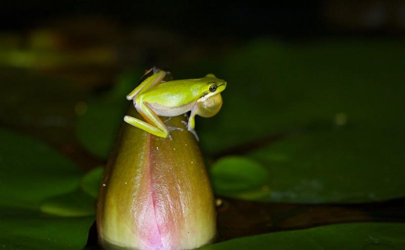 Eastern sedge frog